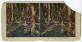 1925, California, Eucalyptus trees