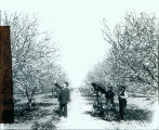 1900 Plum orchard blooming