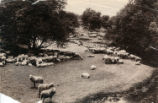 1900 Flock of sheep in the Santa Clara Valley foothills.