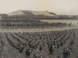 1945 Santa Clara County vineyard