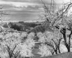 1925 Santa Clara County Orchards in bloom.